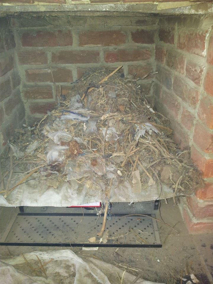 Ivy chimneys bird nest 2